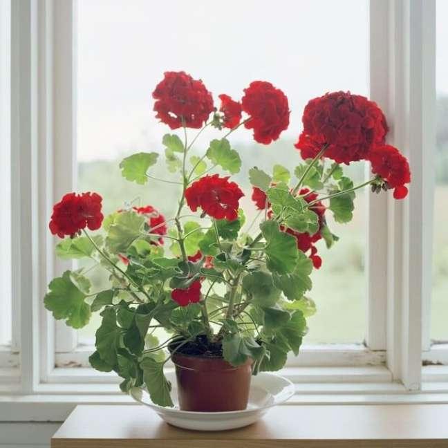4. Aprenda como cultivar gerânio vermelho dentro de casa – Foto Pinterest