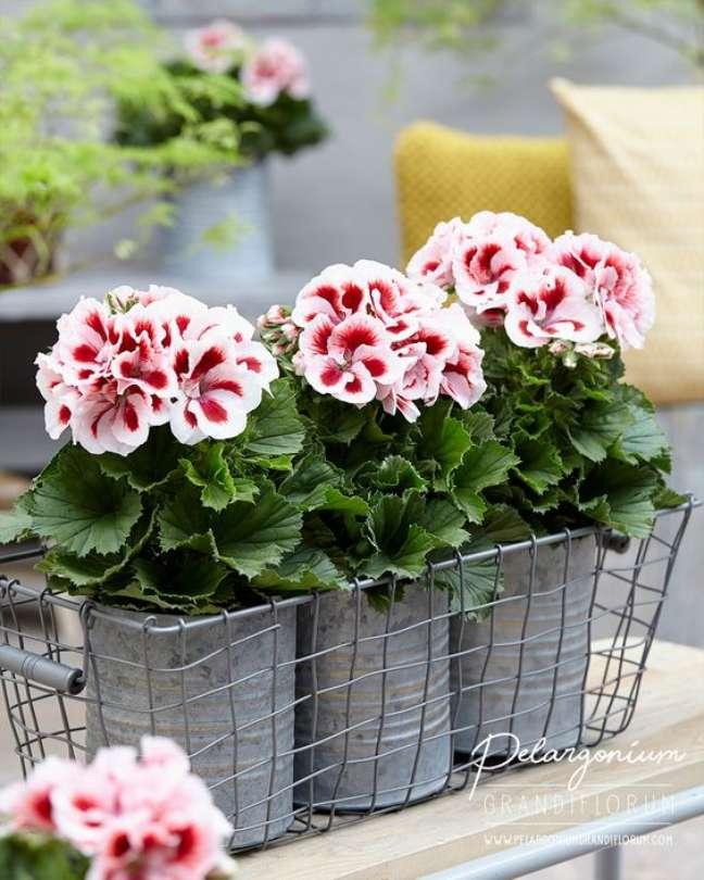 32. Jardim decorado com gerânio em rosa e branco – Foto Pelargonium Grandi Florum