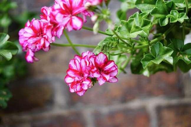 2. Aproveite o gerânio em rosa para alegrar a fachada da sua casa – Foto Sitio da Mata