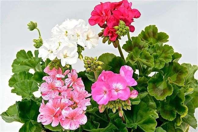 1. Gerânios em tons de rosa e branco são perfeitos para decorar seu jardim – Foto Flor de Janaúba