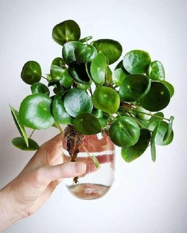 21. A planta Pilea também é uma boa opção para se cultivar na água. Fonte; Pinterest