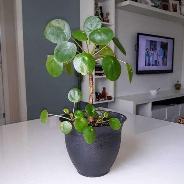 22. Apesar de seu nome sugerir uma semelhança com as peperômias, a Pilea pertence à família das Urticaceae. Fonte: O JOVEM APÊ