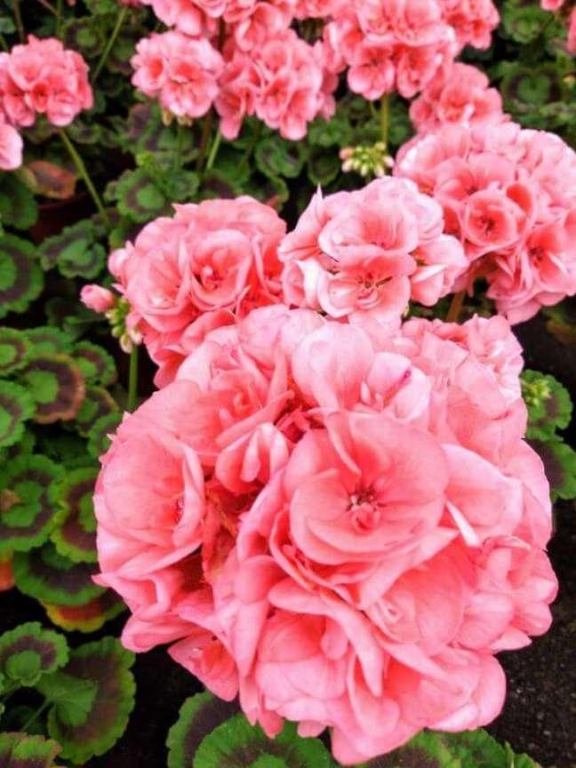 17. Gerânio cor de rosa para jardim charmoso – Foto Pinterest