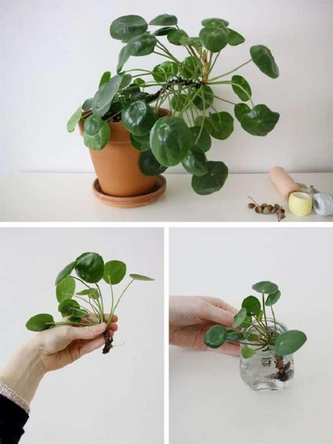 15. Para propagar a pilea coloque a base da raiz dos filhotes na água. Fonte: Pinterest