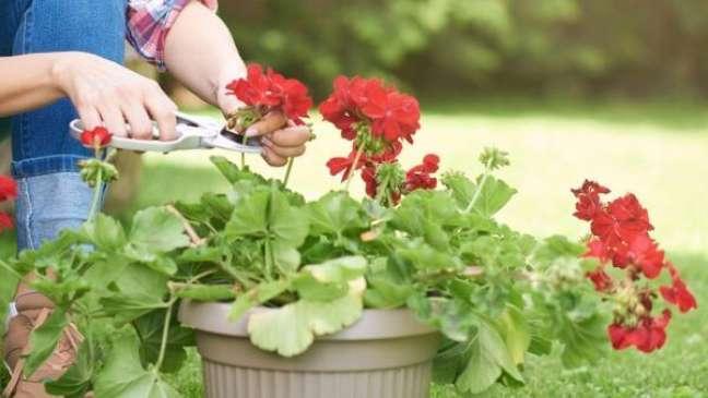 23. Gerânio vermelho para jardim aprenda como cuidar – Foto Meio Ambiente Cultura Mix