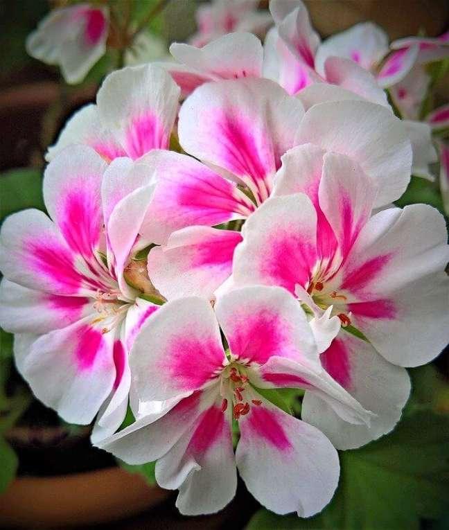 15. Gerânio branco e rosa para decorar os vasos no jardim – Foto Pixabay