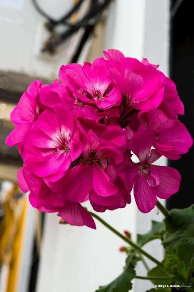 18. Gerânio pink na decoração da sala – Foto Pinterest