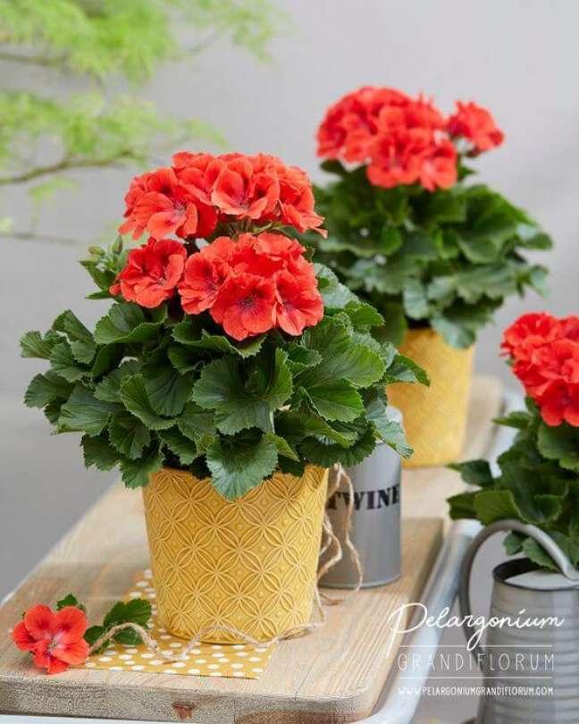 45. Vasos de gerânio vermelho – Foto Pelargonium Grandiflorum