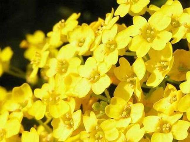 14. O gerânio amarelo é uma flor alegre para decorar o jardim – Foto Mundo Ecologia