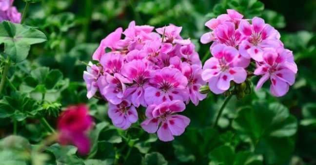 27. Jardim com gerânio cor de rosa – Foto Noticias de Jardim