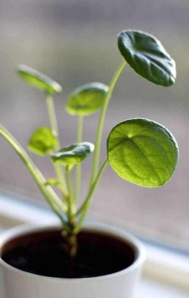 11. A Pilea planta é uma tendência na decoração. Fonte: Pinterest