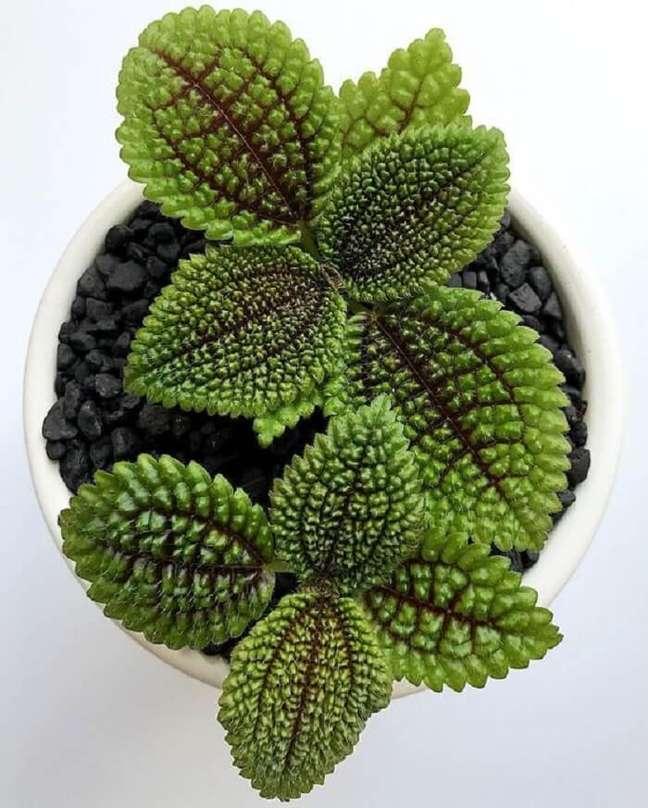 33. A Pilea involucrata é uma planta de sombra por excelência. Fonte: Pinterest