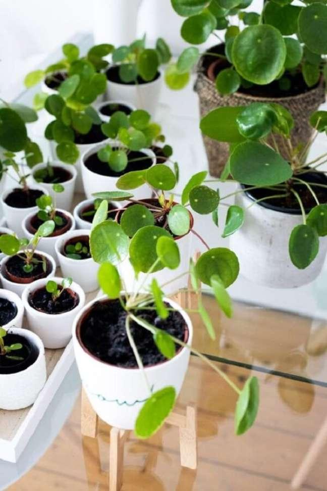 16. De origem chinesa, a pilea planta é fácil de cuidar. Fonte: Pinterest