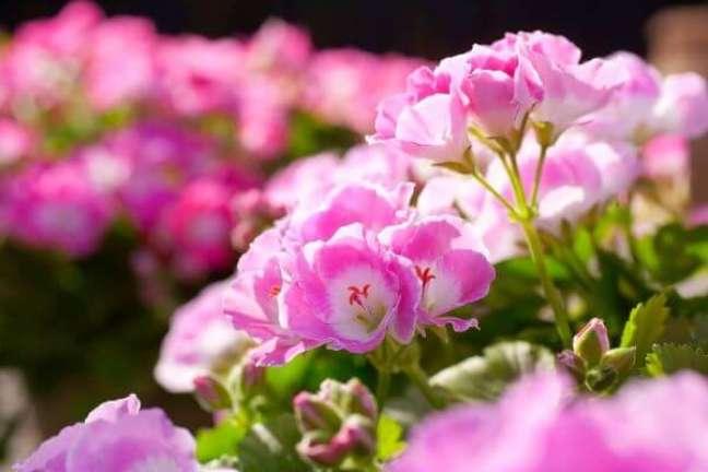 19. Gerânio rosa no jardim de casa pequeno e charmoso – Foto Dicas Dona Maria