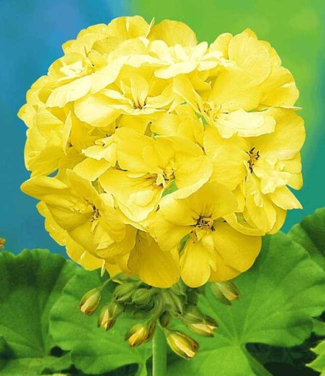 48. Flor gerânio amarelo no jardim – Foto Mercado Livre