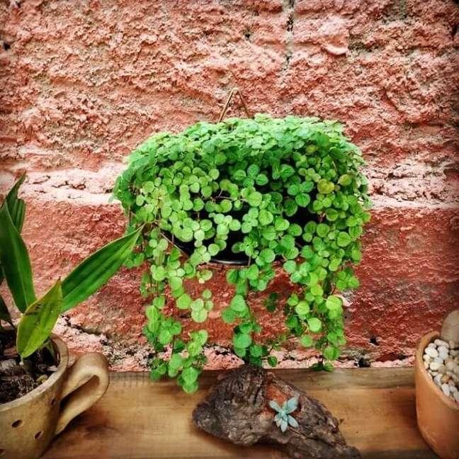 9. Vaso pendurado com Pilea nummulariifolia. Fonte: Mari Oliv Bonassoli