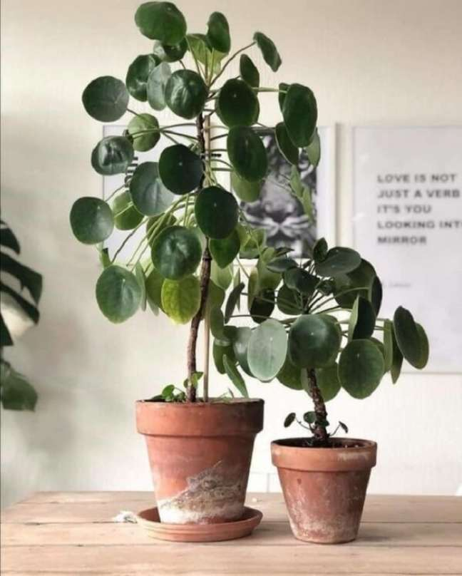 27. A Pilea peperomioides deve ser cultivada à meia sombra. Fonte: Decoholic