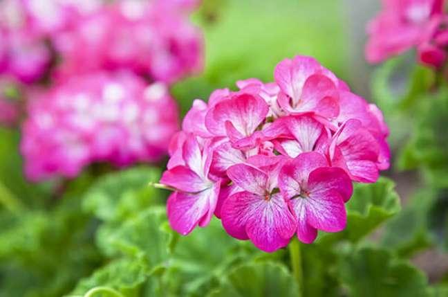 25. Jardim com flor de gerânio rosa – Foto Meio Ambienet