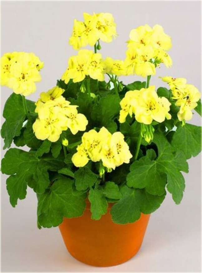 39. Vaso de gerânio amarelo – Foto Mundo Ecologia