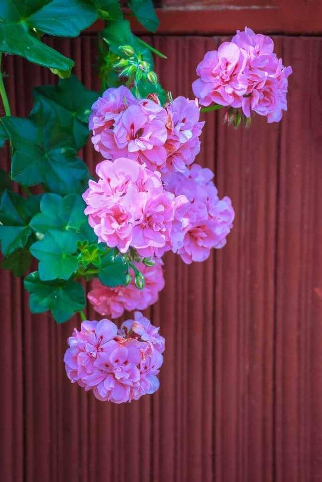 8. Gerânio pendente é lindo para decorar a janela – Foto Gardeners Path