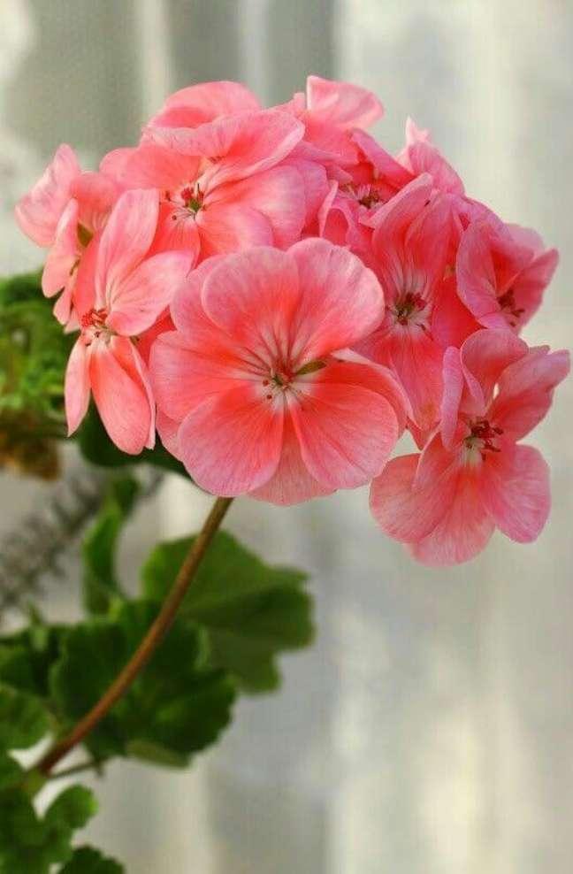20. Gerânio rosa no jardim – Foto Pinterest