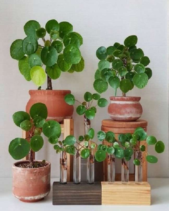 7. A Pilea é o maior gênero da família Urticaceae. Fonte: PILEA LOVERS