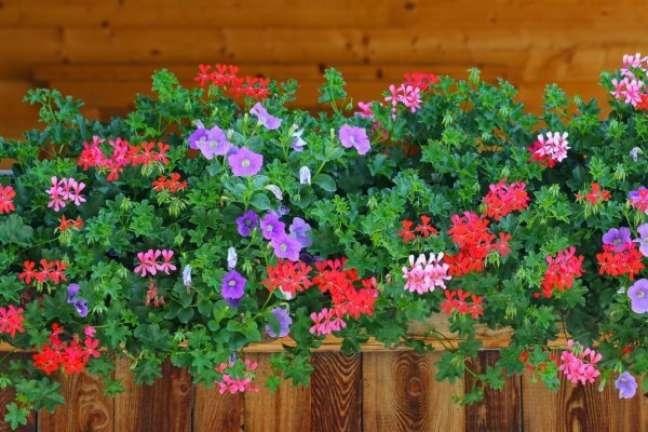 12. Floreira de madeira com gerânios de várias cores – Foto Deposit Photos
