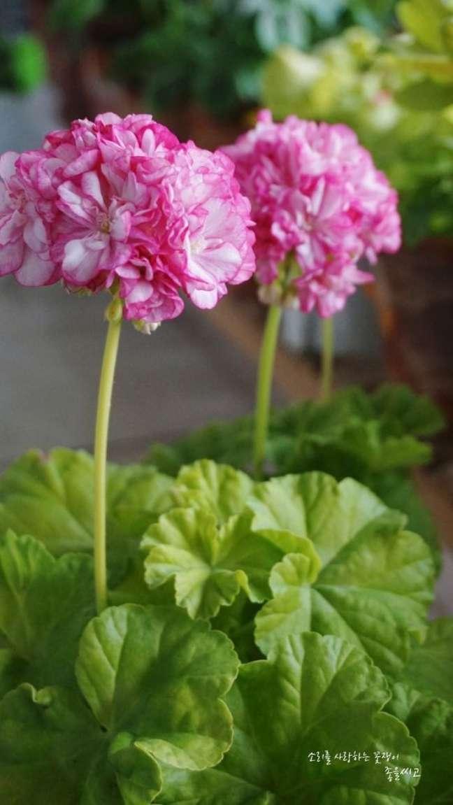40. Vaso de gerânio rosa – Foto Pinterest