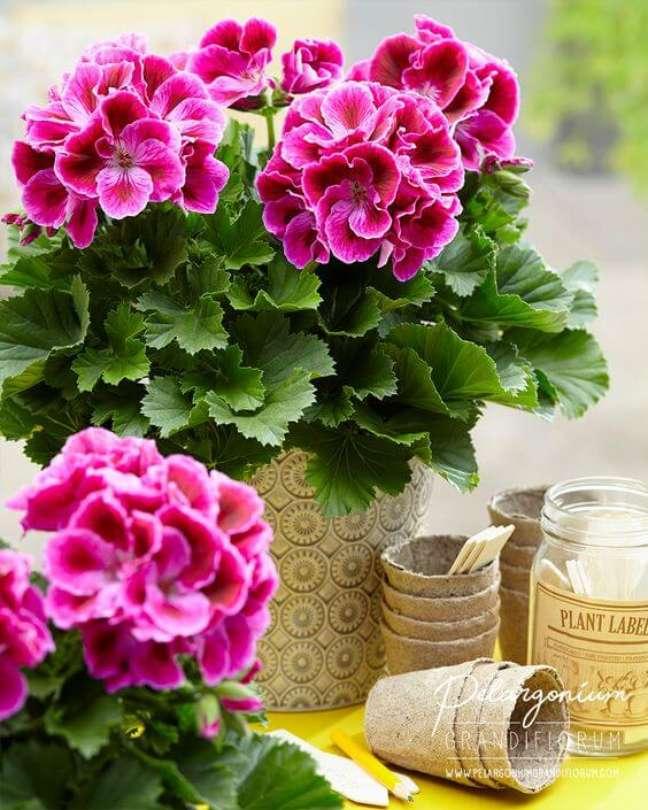 3. Gerânio rosa em vasos na área externa são perfeitos para alegrar o ambiente – Foto Pelargonium Grandi Florum