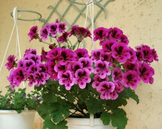 21. Gerânio roxo no vaso de flores do jardim – Foto Mercado Livre