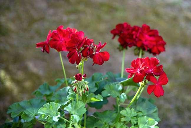 29. Jardim com gerânio vermelho – Foto Flores e Folhagens
