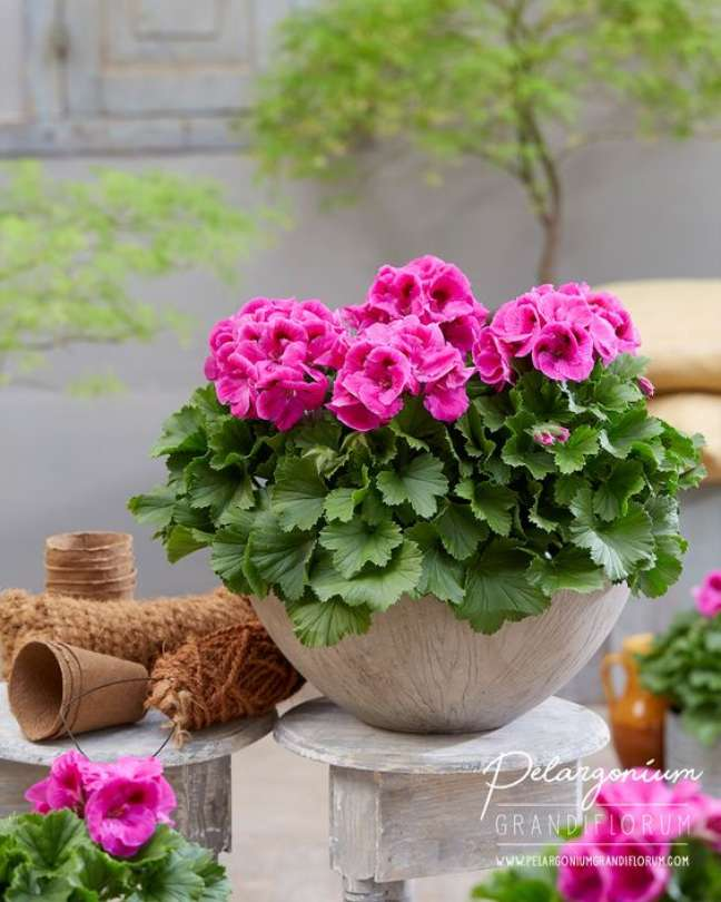 33. Jardim decorado com vasos de gerânio rosa – Foto Pelargonium Grandi Florum