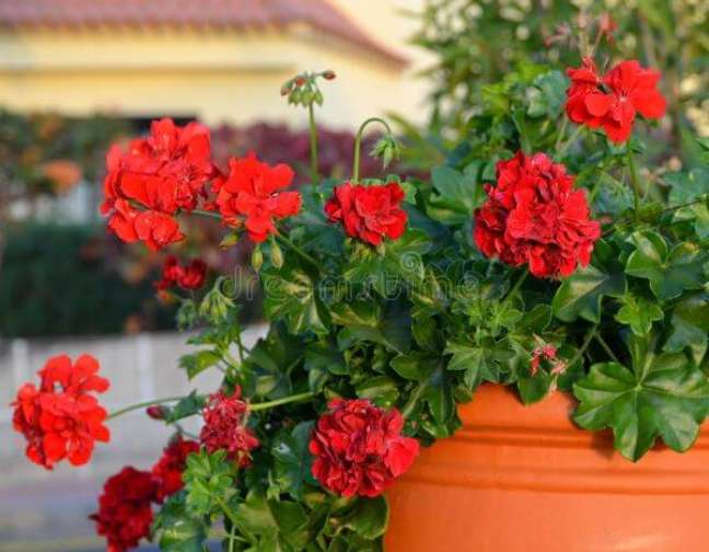 38. Vaso de flores gerânio vermelho – Foto Dreamstime