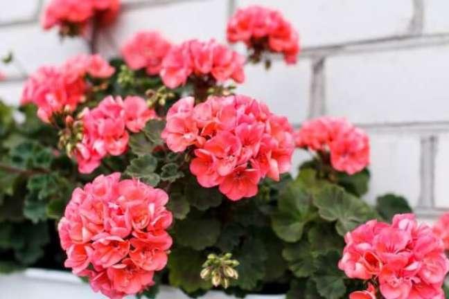 6. Os gerânios cor de rosa são perfeitos para a fachada de casa – Foto DepositPhotos