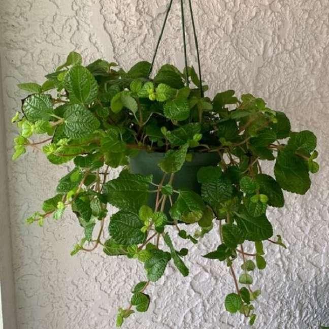 31. A Pilea nummulariifolia não gosta de temperaturas baixas e deve ficar à meia-sombra. Fonte: Pinterest