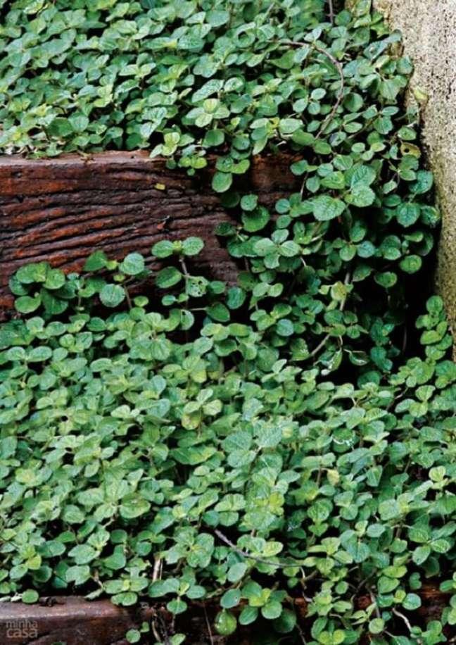 36. A Pilea nummulariifolia possui folhas verdes e enrugadas. Fonte: Pinterest