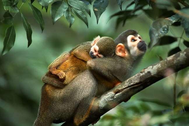Mico-de-cheiro com filhote no Parque Nacional da Serra do Divisor. Acre, 2006