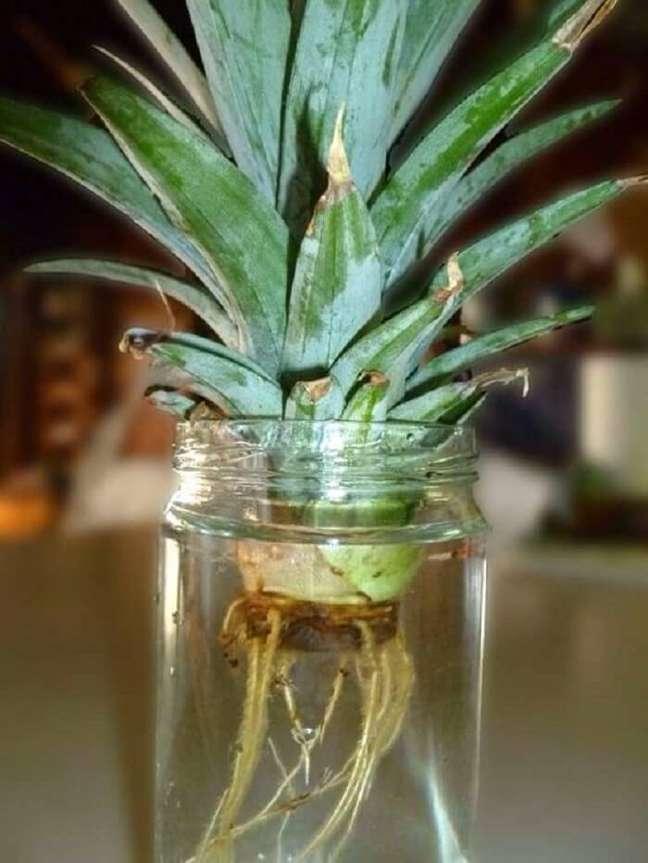 4. Confira dicas de como plantar muda de abacaxi. Foto: Musely