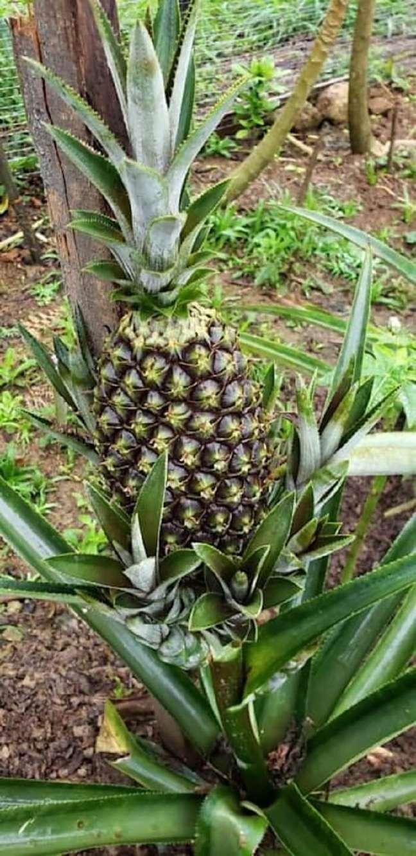 8. Você pode plantar abacaxi em vaso ou direto no solo. Foto: Homify BR