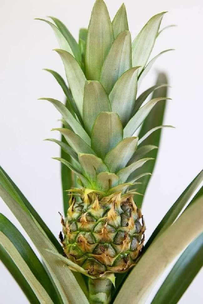 7. Descubra como plantar abacaxi em vaso e aprecie seu crescimento. Foto: Lively Root