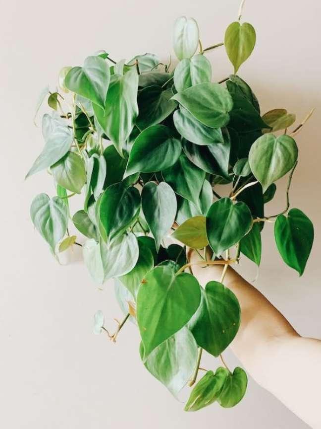 4. Filodendro para decoração com plantas aéreas – Foto Unplant Parenthood