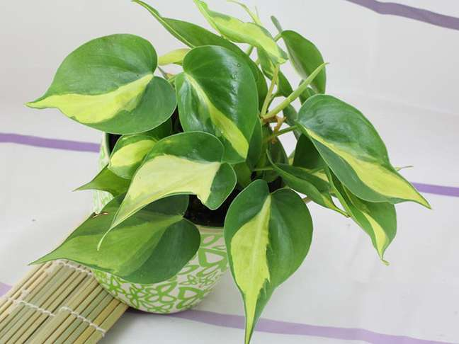 18. Planta filodendro – Foto Sitio da Mata