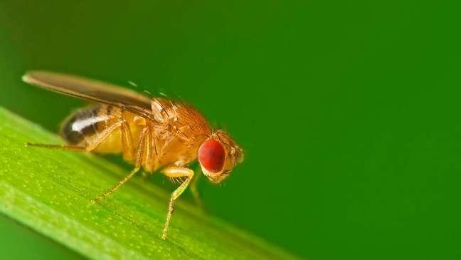 As fugas bem-sucedidas de moscas-das-frutas mais espertas podem ter deixado os cientistas cruzando um grupo menos inteligente em laboratório