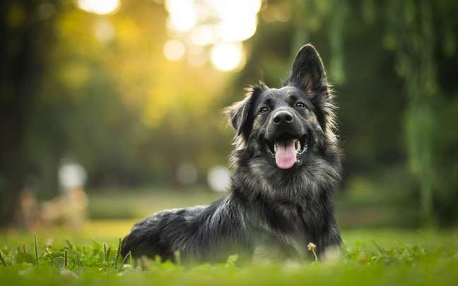 Entenda como é o comportamento do cãozinho desse signo - Shutterstock.
