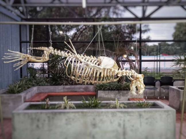 Esqueleto de leão-marinho doado pelo Zoológico de São Paulo