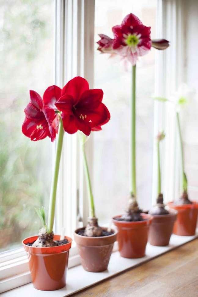 30. Janela com vaso de amarílis vermelha e rosa – Foto Gardeners World