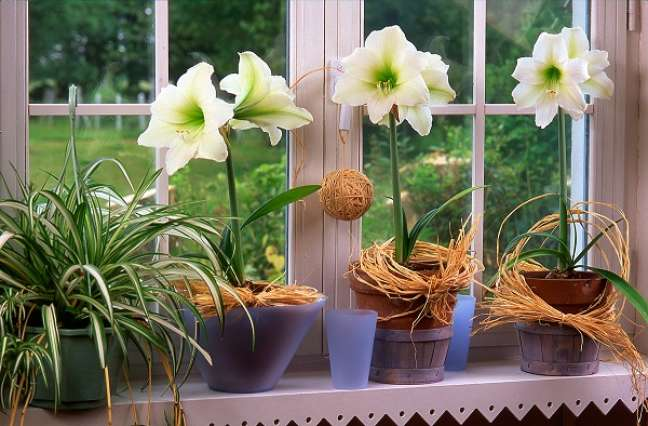 1. Vaso de amarílis branca na janela de casa iluminada – Foto iStock