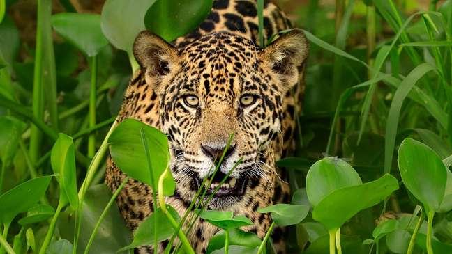 Conservacionistas lutam contra o crime organizado para proteger a espécie