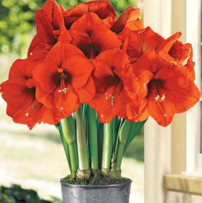 9. Vaso de amarilis laranja – Foto So Flor Sementes