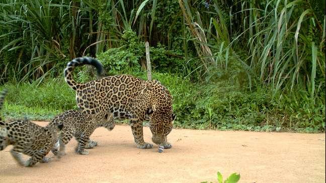 Além do tráfico, o agronegócio, o desmatamento e a caça por fazendeiros locais também ameaçam o felino